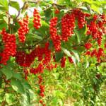 Schisandrae Berry