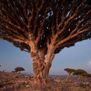 Dragons Blood Trees